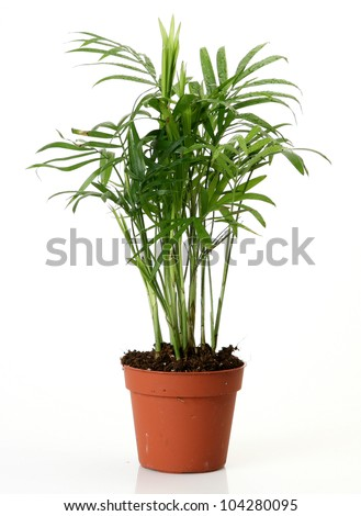 Room flower in a pot