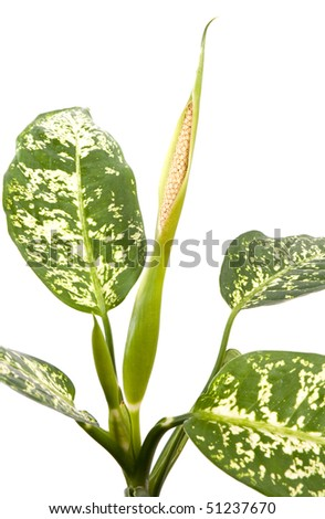 Room flowers. Flowering dieffenbachia green plant in flower pot - stock photo