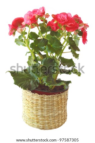 Room plant a pink begonia on a white background is isolated