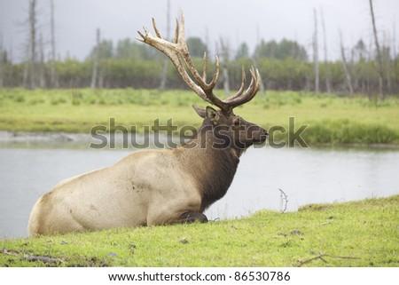 Roosevelt Elk - stock photo