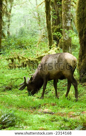 Roosevelt elk in Olympic national park, Washington - stock photo