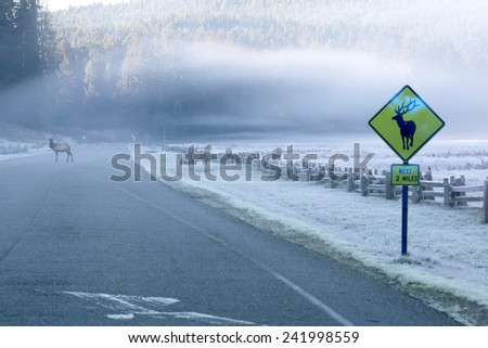 Roosevelt elk standing on the highway. Rain Forest California, USA - stock photo