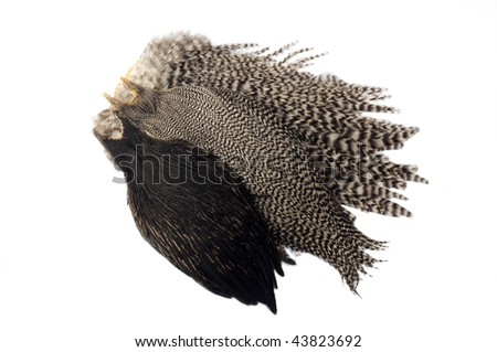 Rooster feathers for making flies for fishing - stock photo