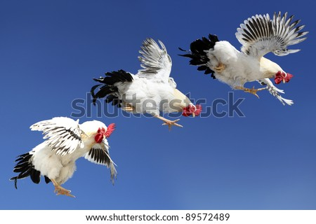 Rooster in Flight - stock photo