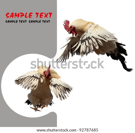 Rooster in flight. - stock photo