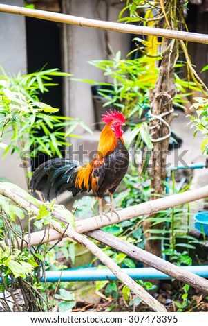 Rooster in Thai country, Thailand. - stock photo