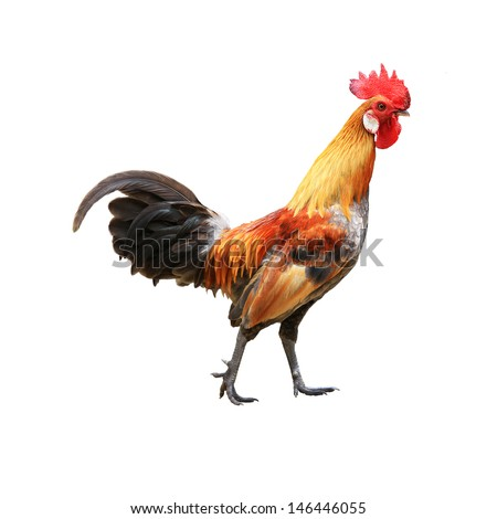 Rooster isolated on white background with clipping path - stock photo