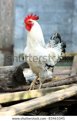 Rooster on the farm yard - stock photo