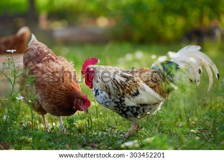 rooster or chicken on traditional free range poultry farm  - stock photo