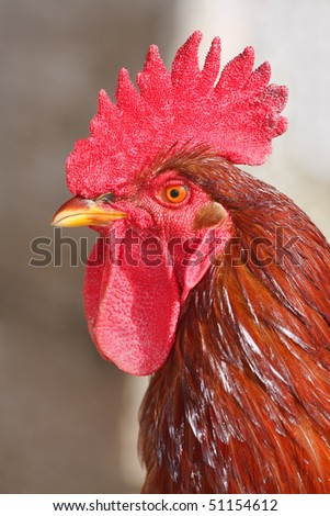 Rooster portrait - stock photo