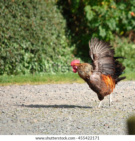 Rooster walking on farm road flapping its wings - stock photo