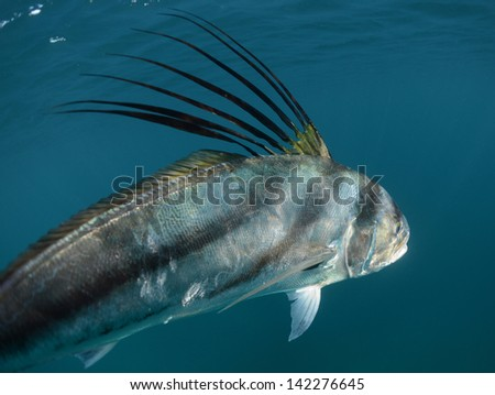 Rooster fish stock images royalty free images vectors for Rooster fish pictures
