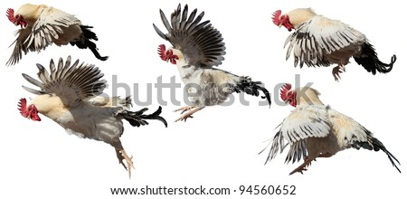 Roosters in flight. - stock photo