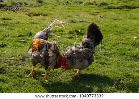 Roosters on a green meadow