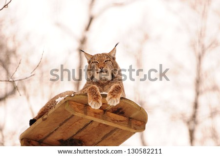 roosting lynx on an observation deck in the zoo - stock photo