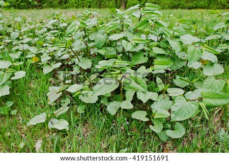 Root beer plant herbal remedy, piper auritus - stock photo