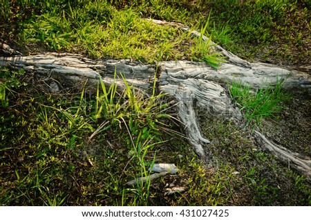 root going out of the ground, closeup - stock photo