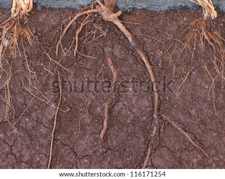 Root in soil