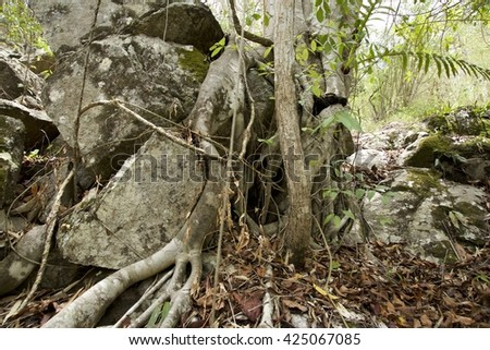 Root of Banyan trees in the forest of Northern Thailand.