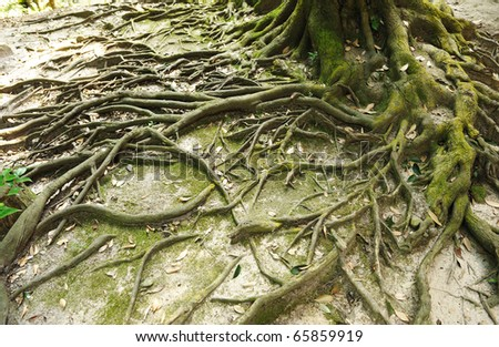 Root of the tree and moss - stock photo