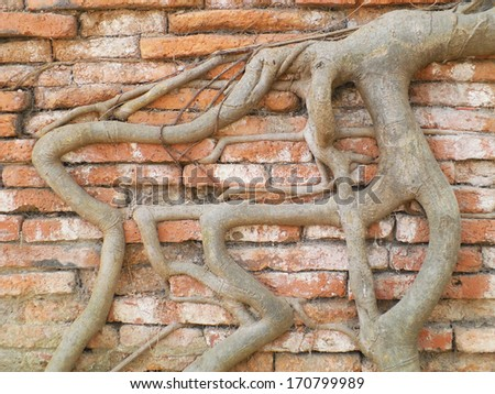 Root wood covered brick wall, Thailand - stock photo