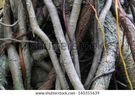 Roots of a Banyan Tree - stock photo