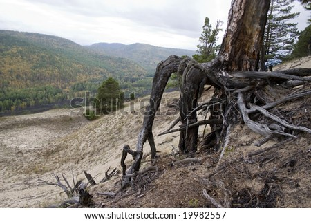 Roots of a dry tree on a background of a mountain wood. - stock photo