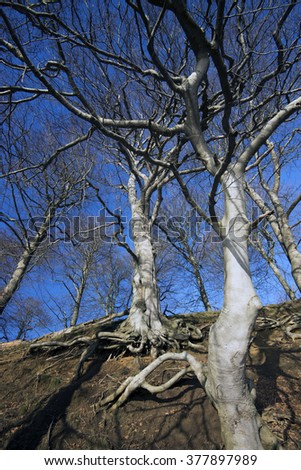 Roots of a tree growing on an forest escarpment sky blue - stock photo