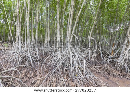 Roots of mangrove forest when sea water run down - stock photo