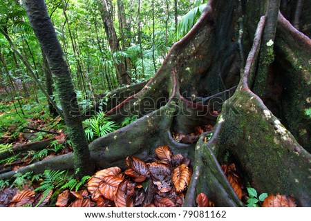 Roots spread across the ground in a lush rainforest in the highlands of Saint Kitts - stock photo