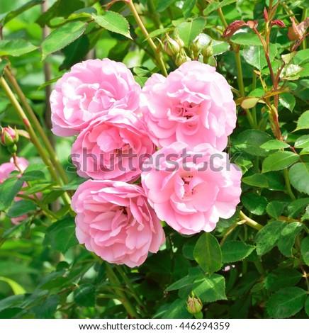 Rosa; Bonica. - stock photo