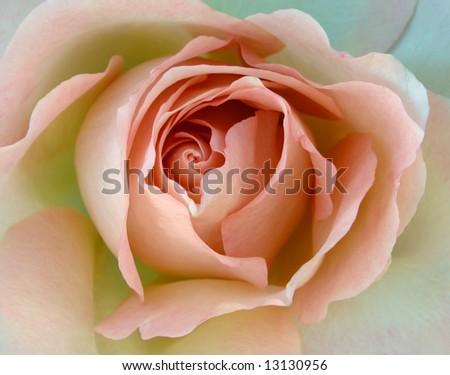 rosa, Coral Treasure - stock photo
