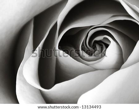 rosa, Latin Gypsy Curiosa - stock photo