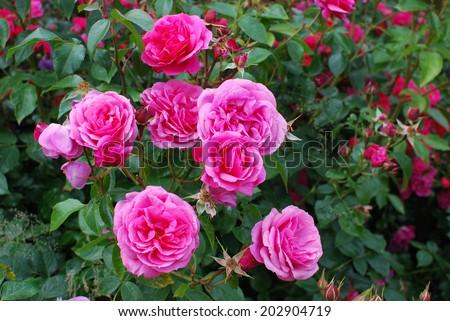 Rosa 'Pink Flower Carpet', Norfolk, UK, June - stock photo
