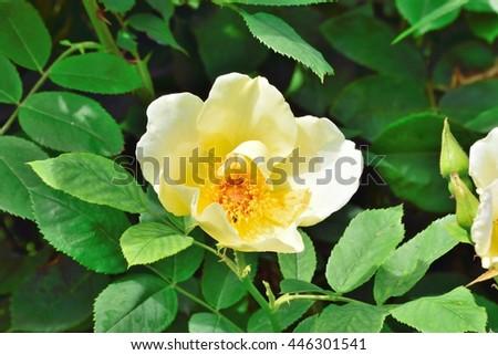 Rosa;Wilhelm. - stock photo