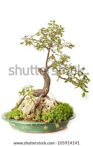 Rosaceae bonsai isolated on white - stock photo