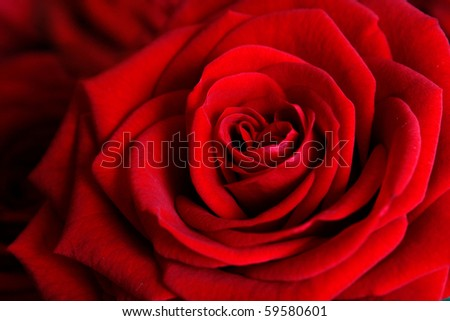 Rose - stock photo