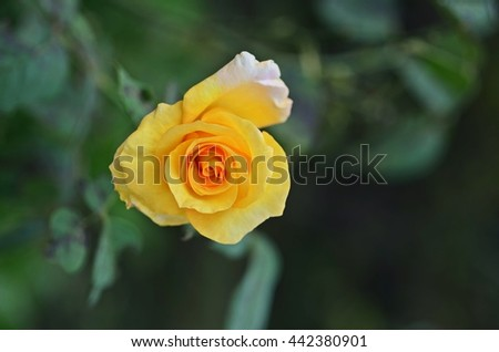 Rose;a woody perennial flowering plant  - stock photo