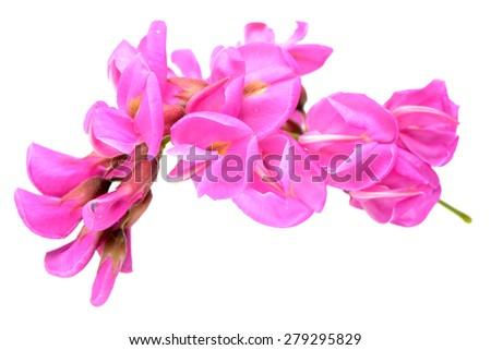 Rose acacia isolated on white background  - stock photo