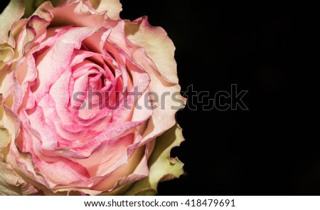 Rose and creamy blooming flower up close macro image isolated over black background with free space - stock photo