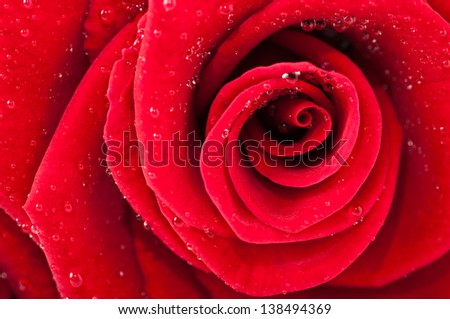 Rose and its petals photographed with extension to