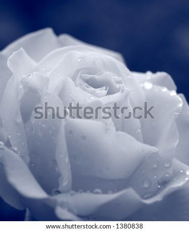 Rose and morning dew with shallow depth of field - stock photo