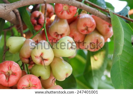 Rose apples on tree   - stock photo