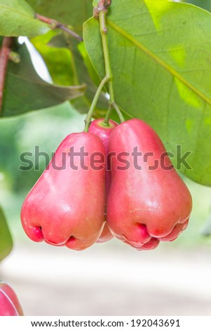 Rose apples on tree in orchard,Thailand - stock photo