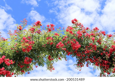 Rose Arch In the Garden and Blue Sky - stock photo