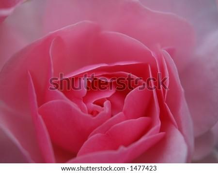 Rose Background. Full frame pink rose petals. - stock photo