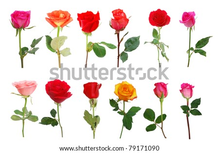 Rose blooming in collection - stock photo