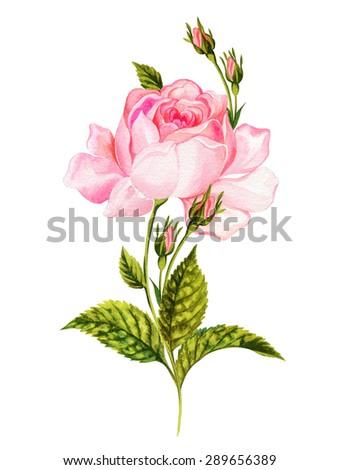 rose, botanical illustration, vintage. Detailed drawing of a romantic flower, antique vintage style - stock photo