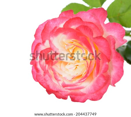 rose bouquet for love gift isolated on white