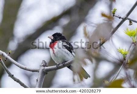 Rose-Breasted Grosbeak Perched on a Tree  - stock photo